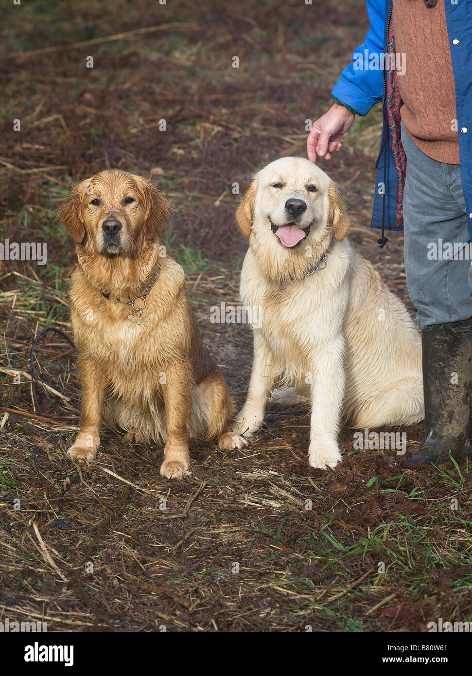 Golden retrievers, Elsa and Alfie, mother and son, aged 3 years and 9 months respectively - Stock Image