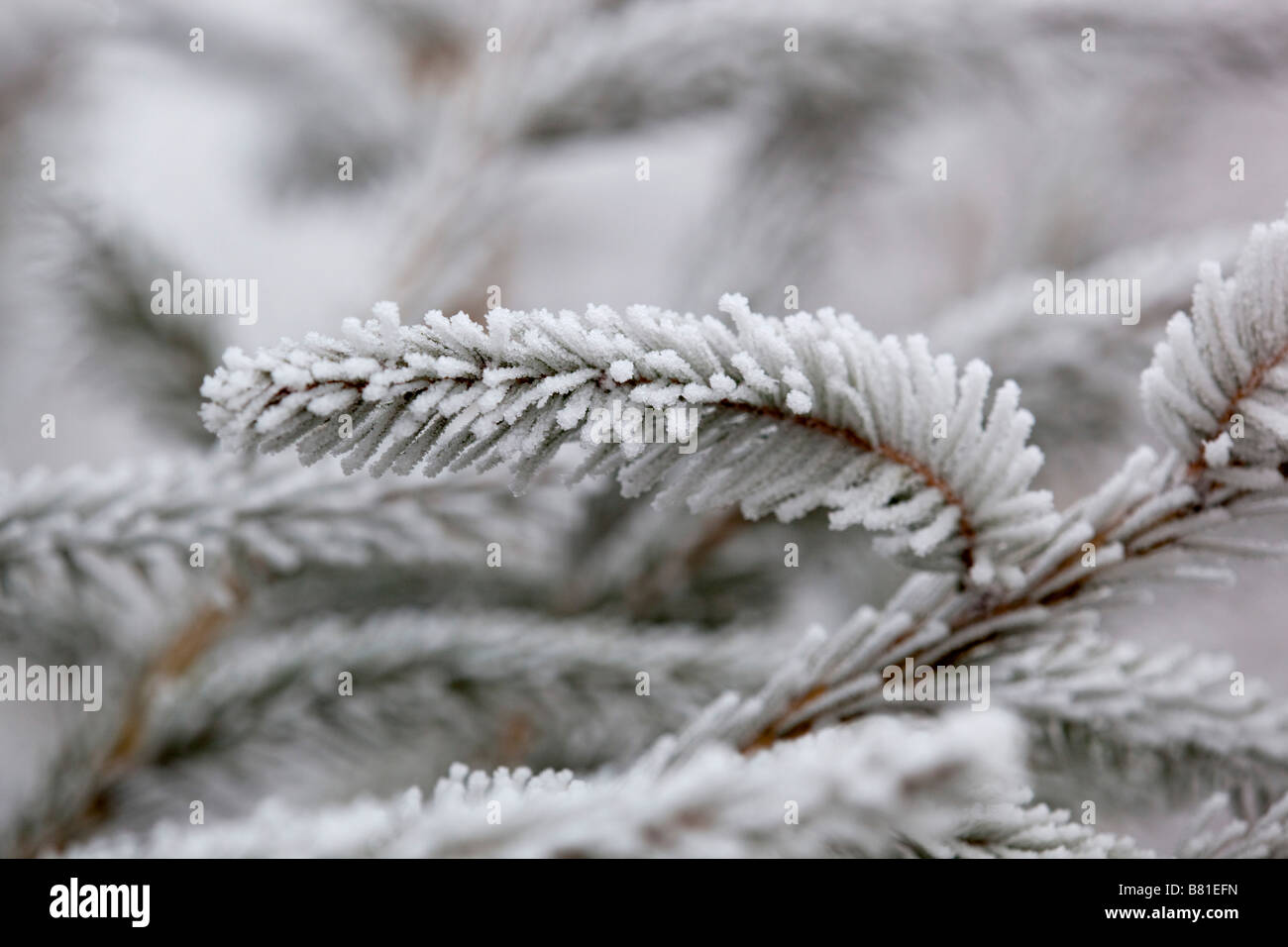 frost crystals on pine needles norway spruce - Stock Image
