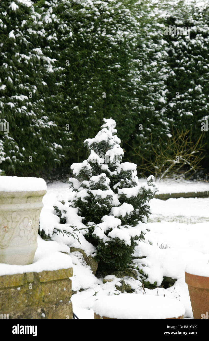 small conifer in the snow - Stock Image