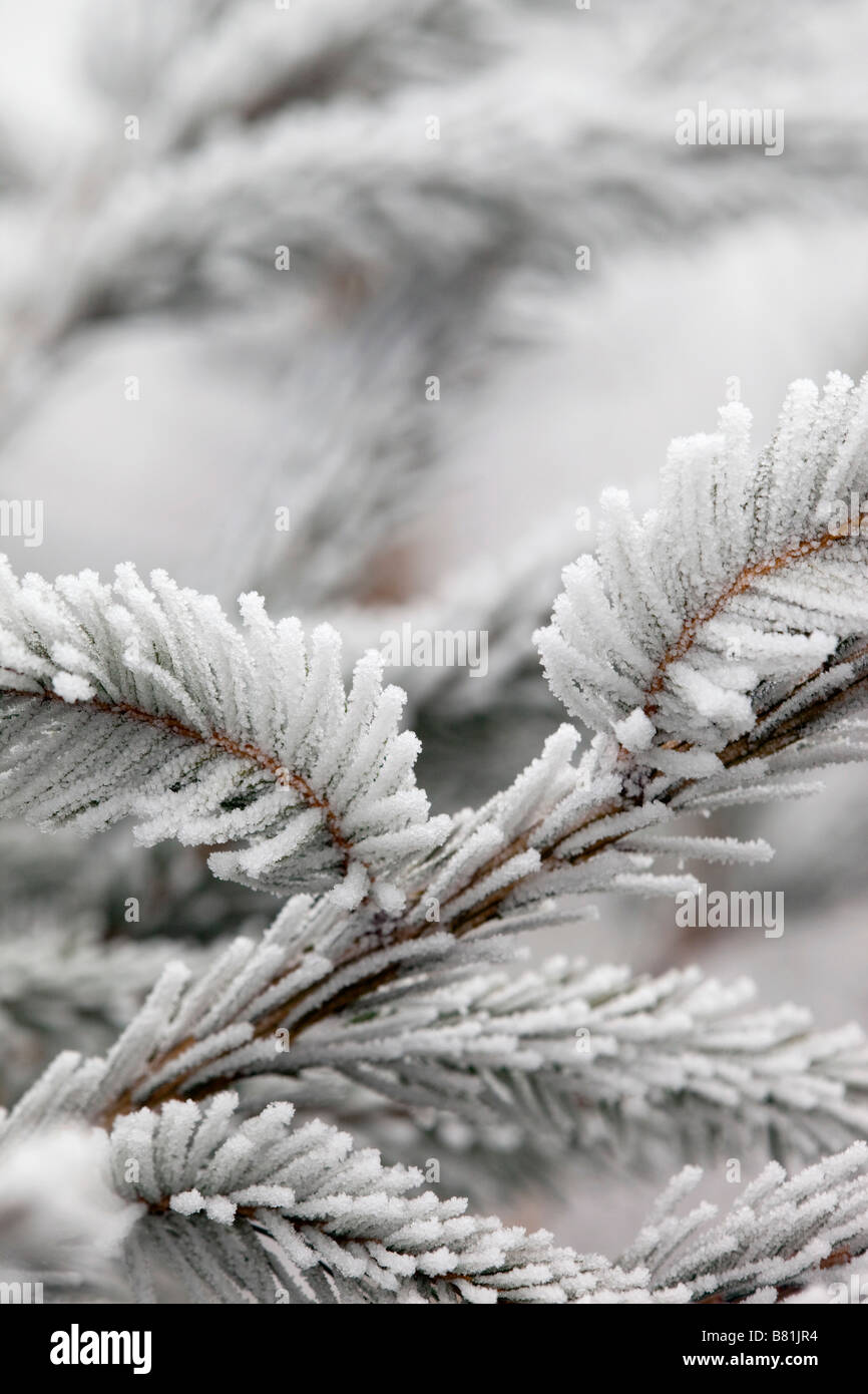 frost crystals on pine needles norway spruce christmas tree - Stock Image