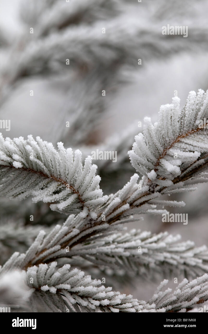 frost crystals on pine needles christmas tree winter - Stock Image