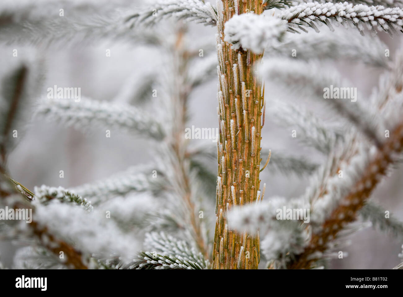 frost crystals on pine needles christmas tree - Stock Image