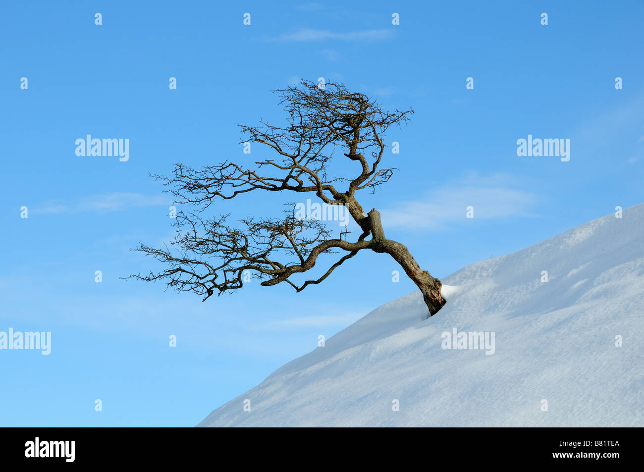 Hawthorn tree in snow against a blu sky Black Mountain Beacns National Park Carmarthenshire Wales Stock Photo