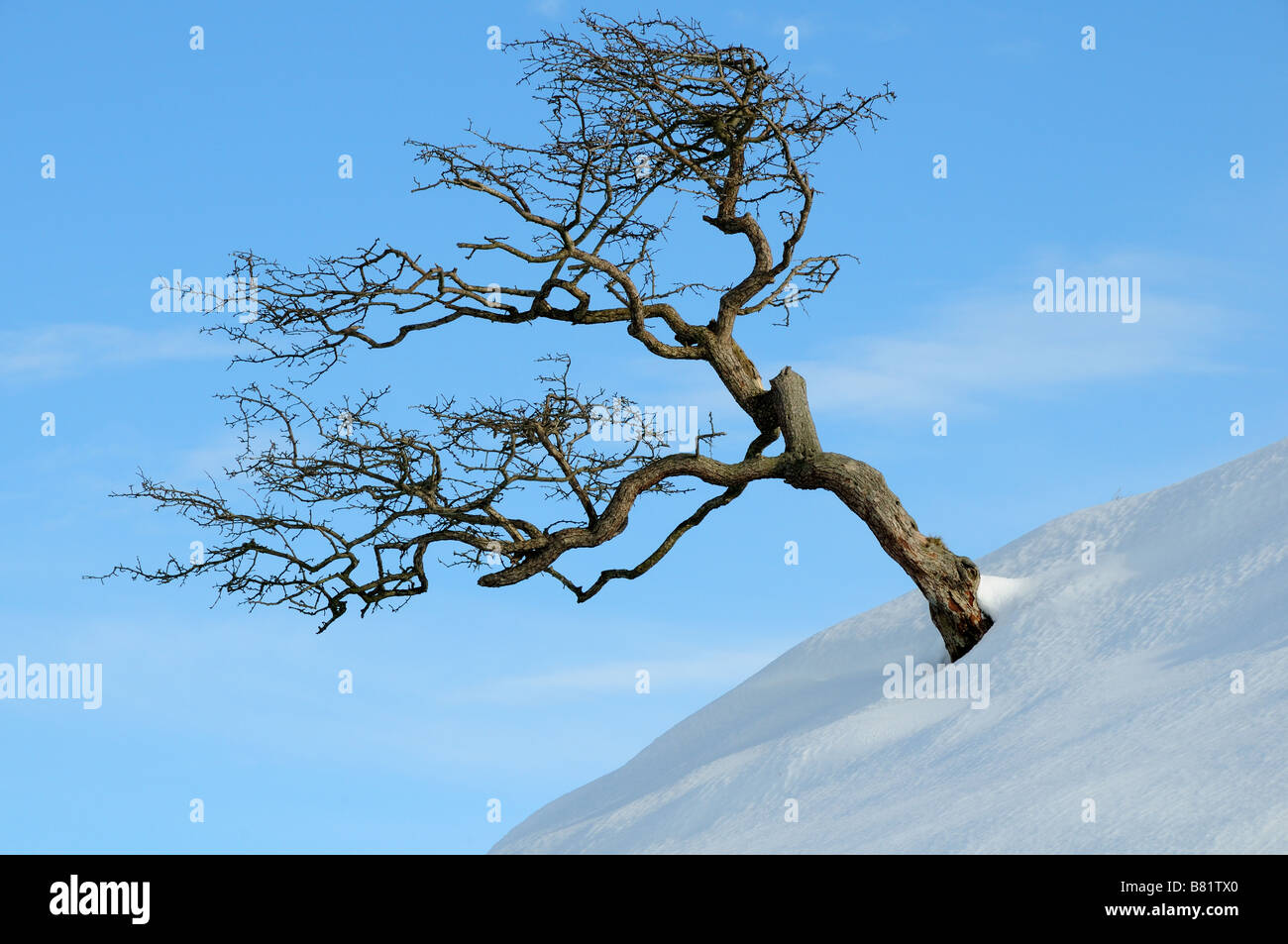 Windblown Tree Stock Photos Amp Windblown Tree Stock Images