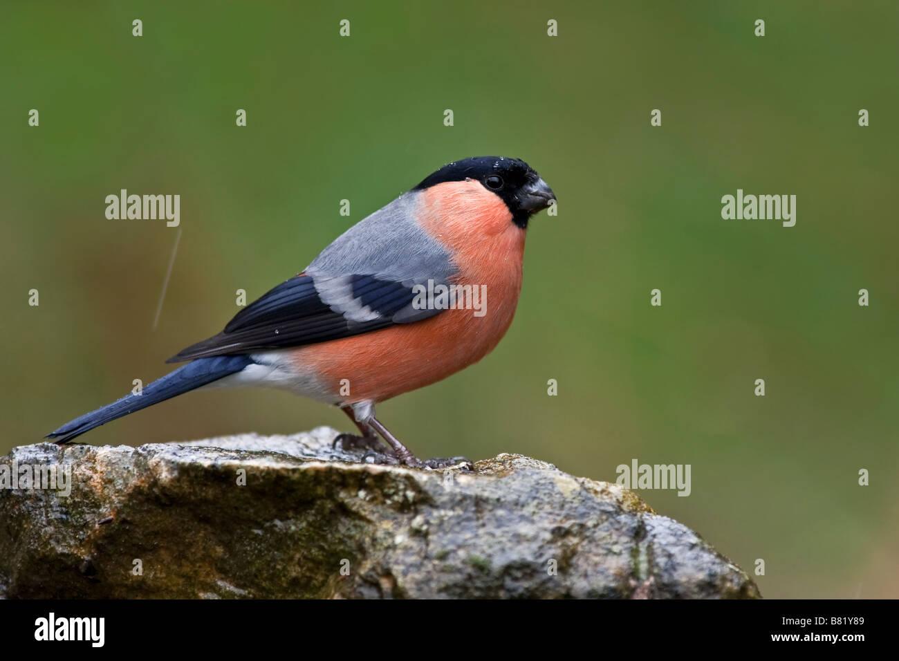Bullfinch in rain - Stock Image