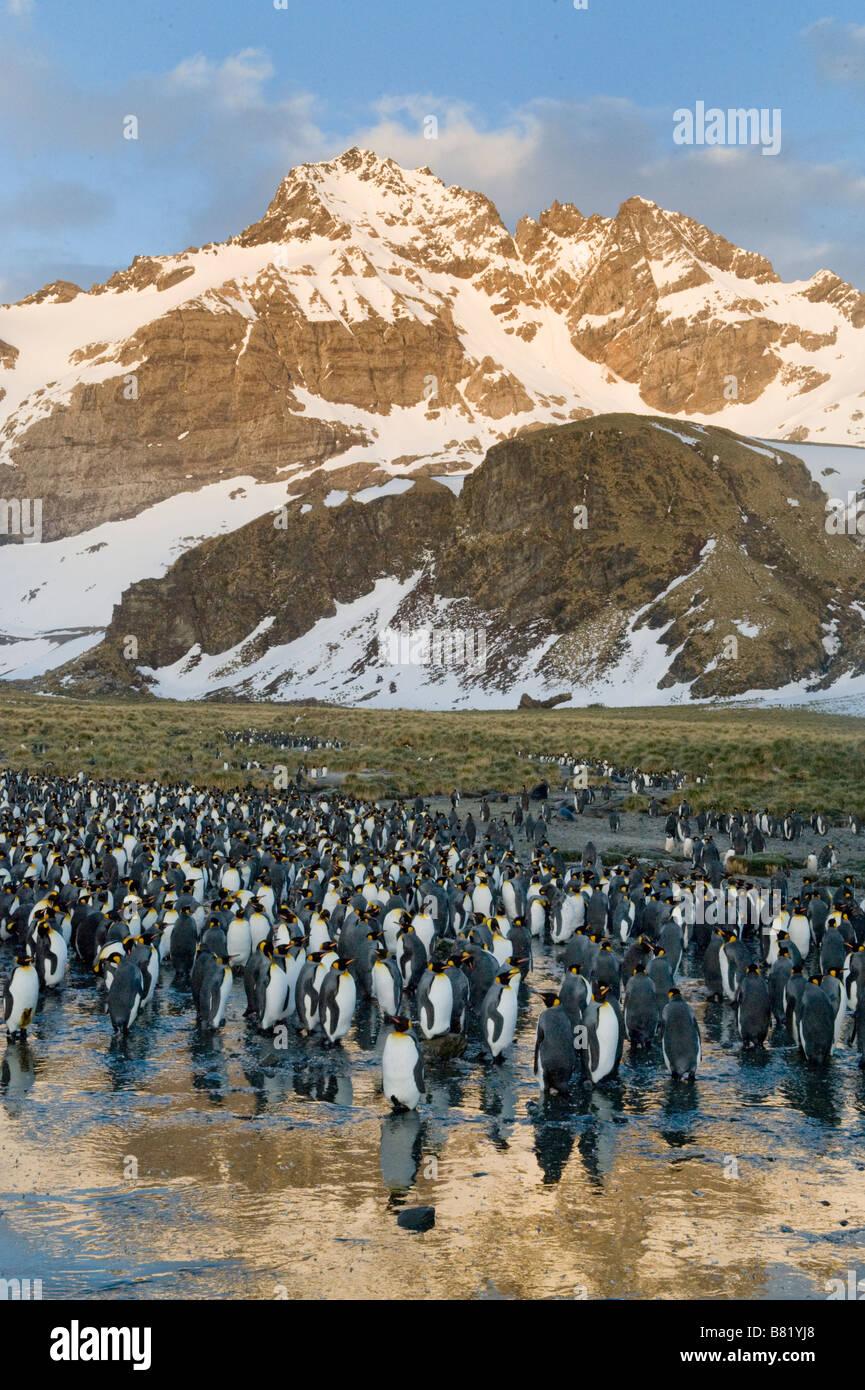 King Penguin Colony, Gold Harbour, South Georgia Island, Antarctica - Stock Image