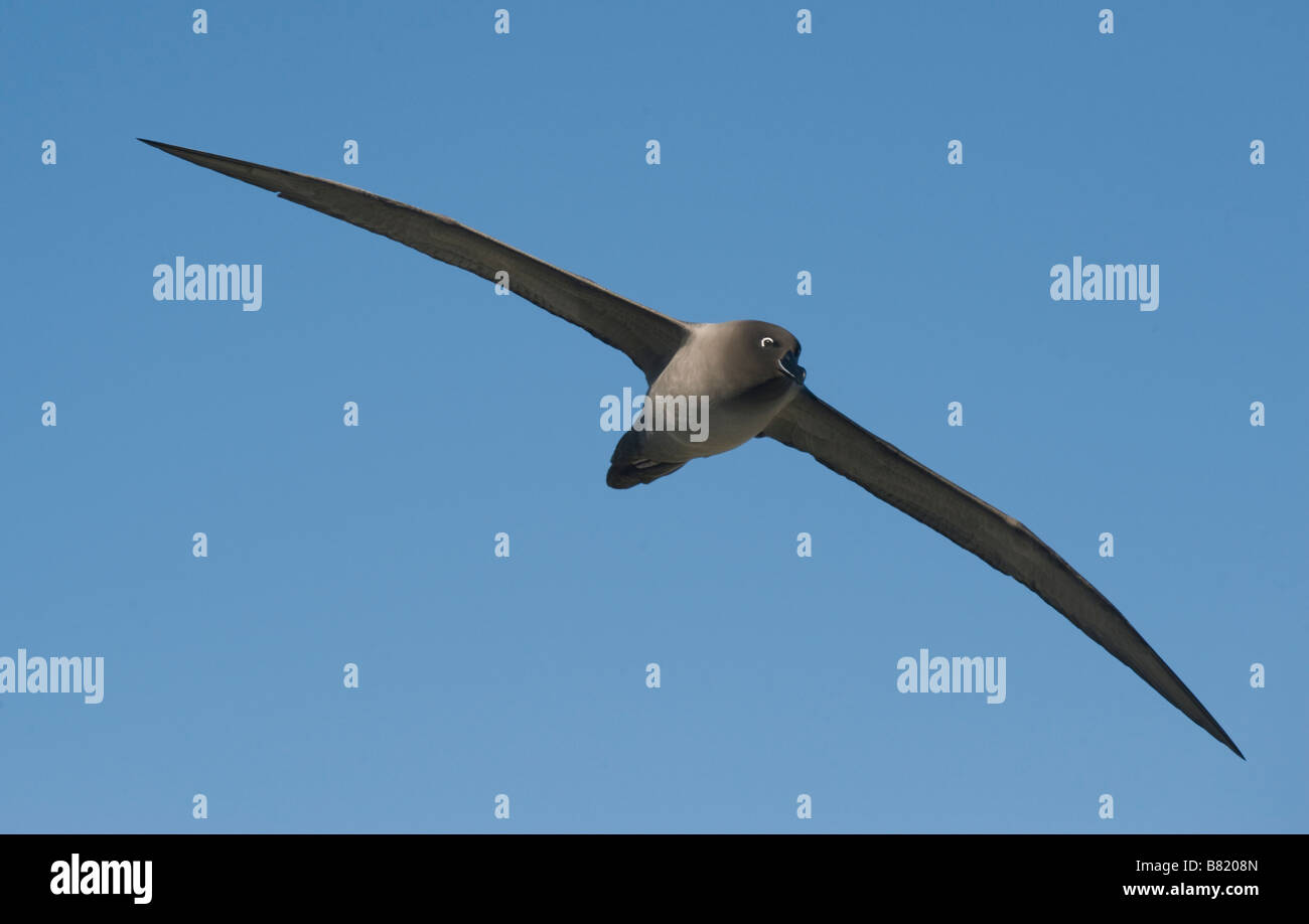 Light-mantled Sooty Albatross (Phoebetria palpebrata) in flight, South Georgia Island, Antarctica - Stock Image
