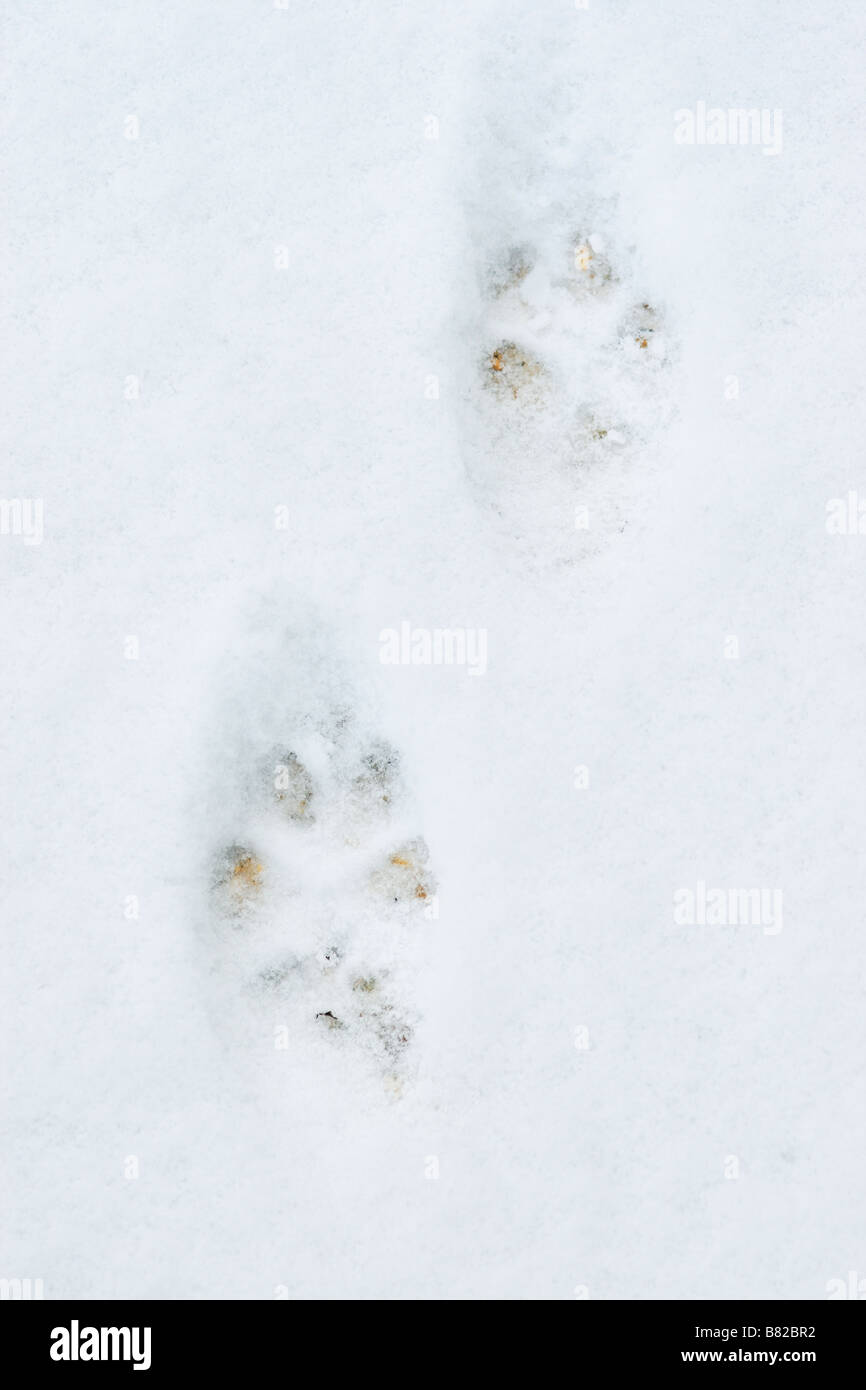 Fox (Vulpes vulpes) Tracks in snow - Stock Image