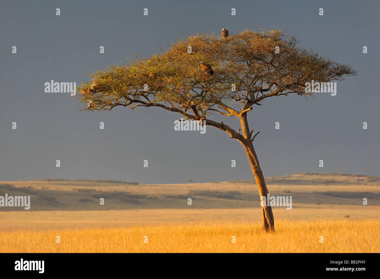 Acacia tree stands along on the golden grasses of the Serengeti in Masai mara National Reserve, Kenya. Stock Photo
