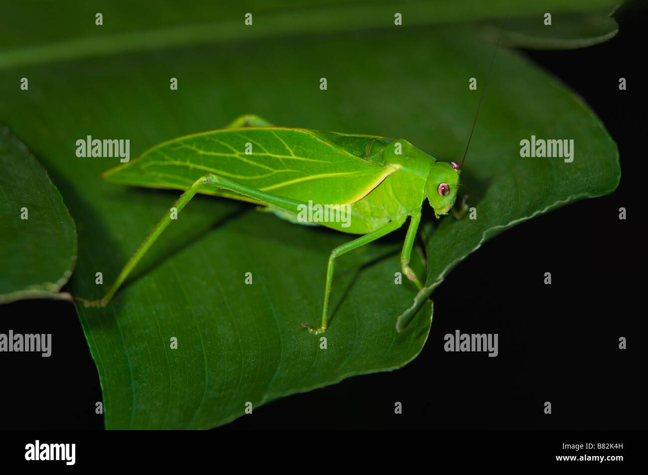 Oblong winged Katydid on leaf, Costa Rica - Stock Image