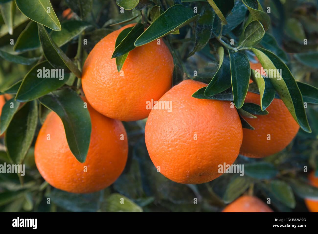 Mature Mineola Satsuma fruit on branch. - Stock Image