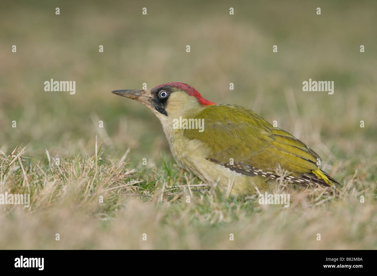 Green Woodpecker Picus viridis stood in grass - Stock Image