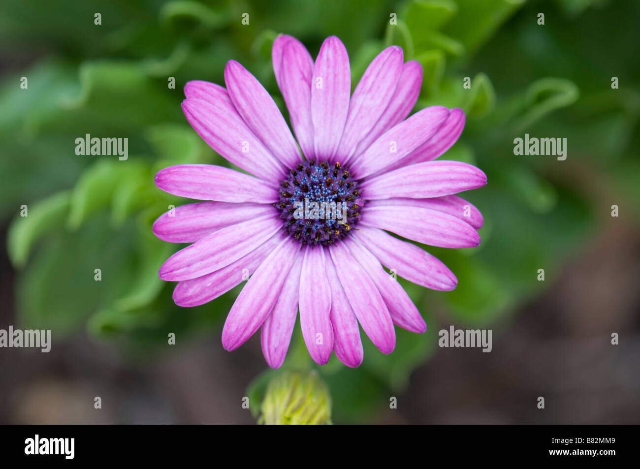 Blue-eyed African Daisy, Osteospermum growing in an Oklahoma, USA garden. - Stock Image