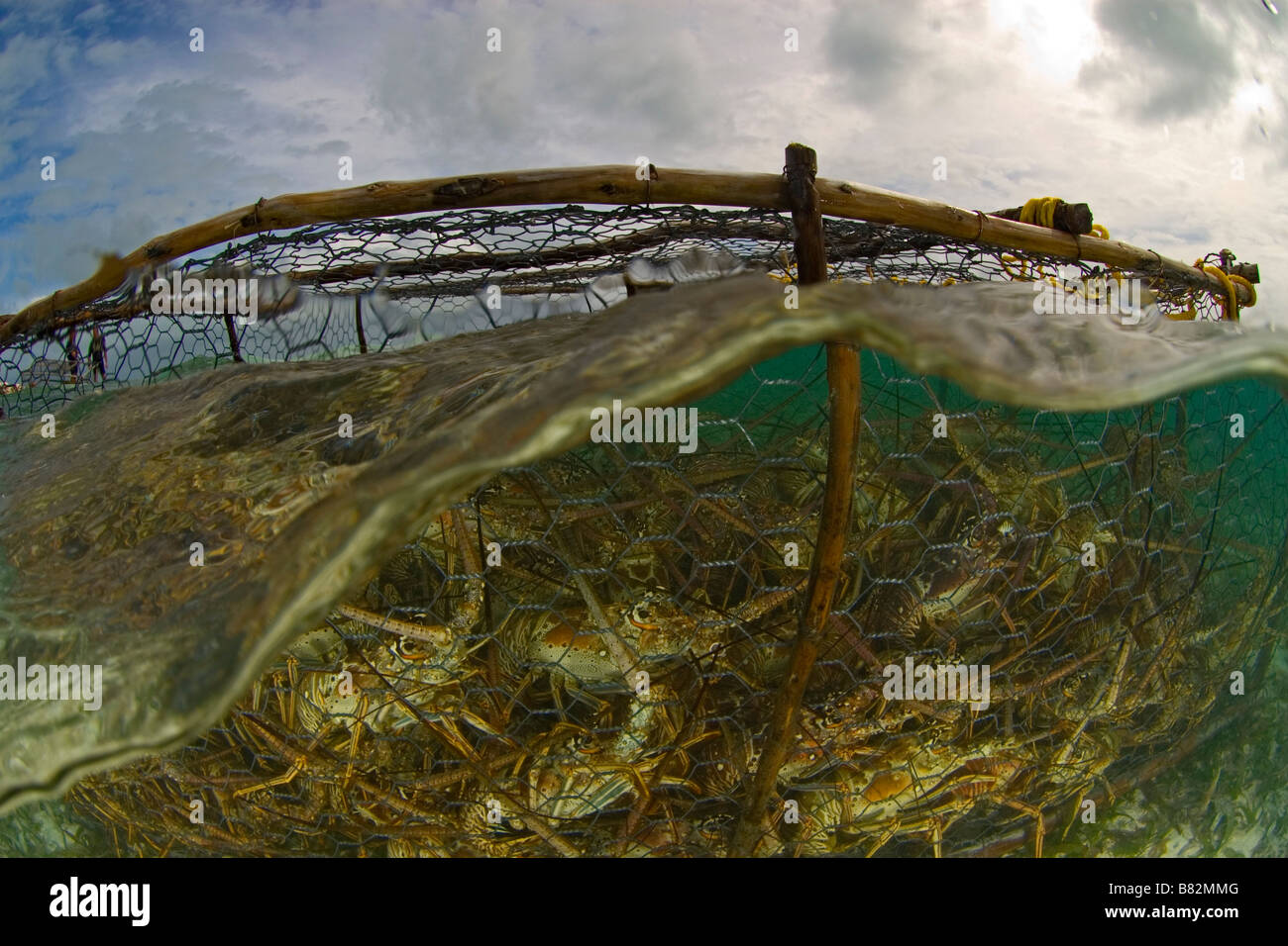 Lobsters in trap. Los Roques Venezuela, networks, underwater, ocean, sea, surface, overfishing, to fish - Stock Image