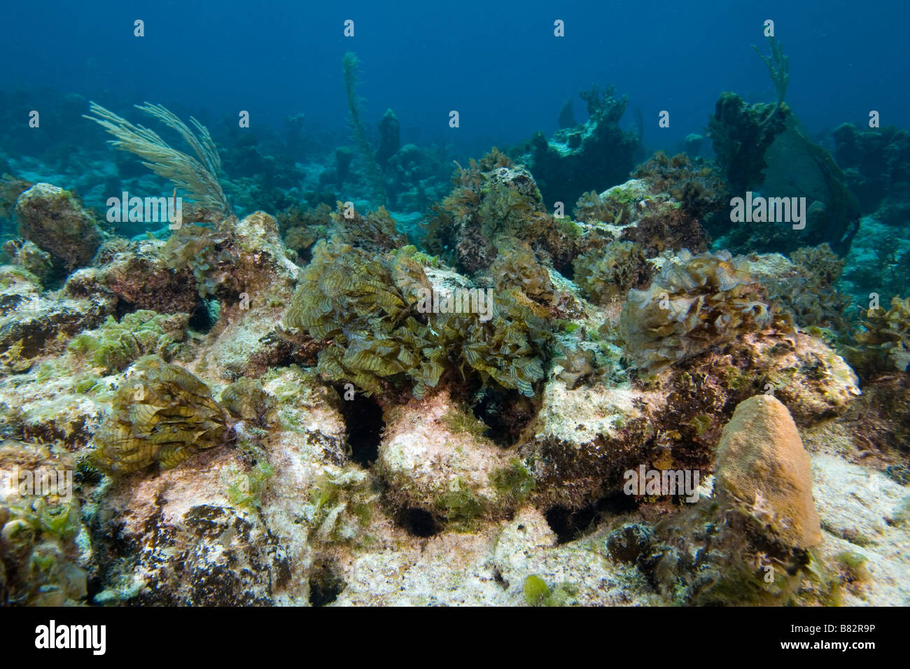 damaged Coral covered with algae Bahamas, ecological disaster, dead coral, hard coral, warm water, bleaching - Stock Image