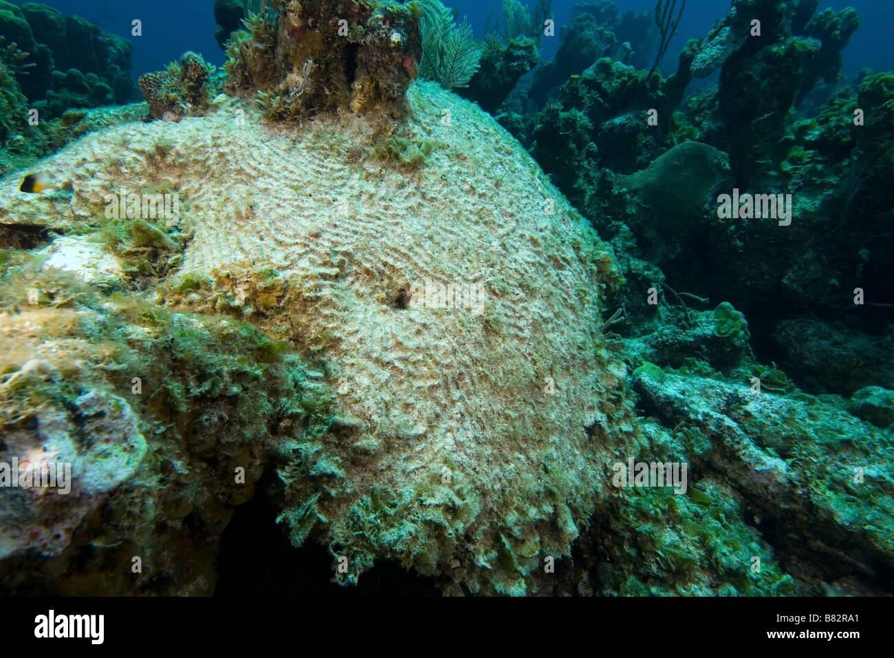 Bleached coral Bahamas, ecological disaster, dead coral, hard coral, warm water, bleaching - Stock Image