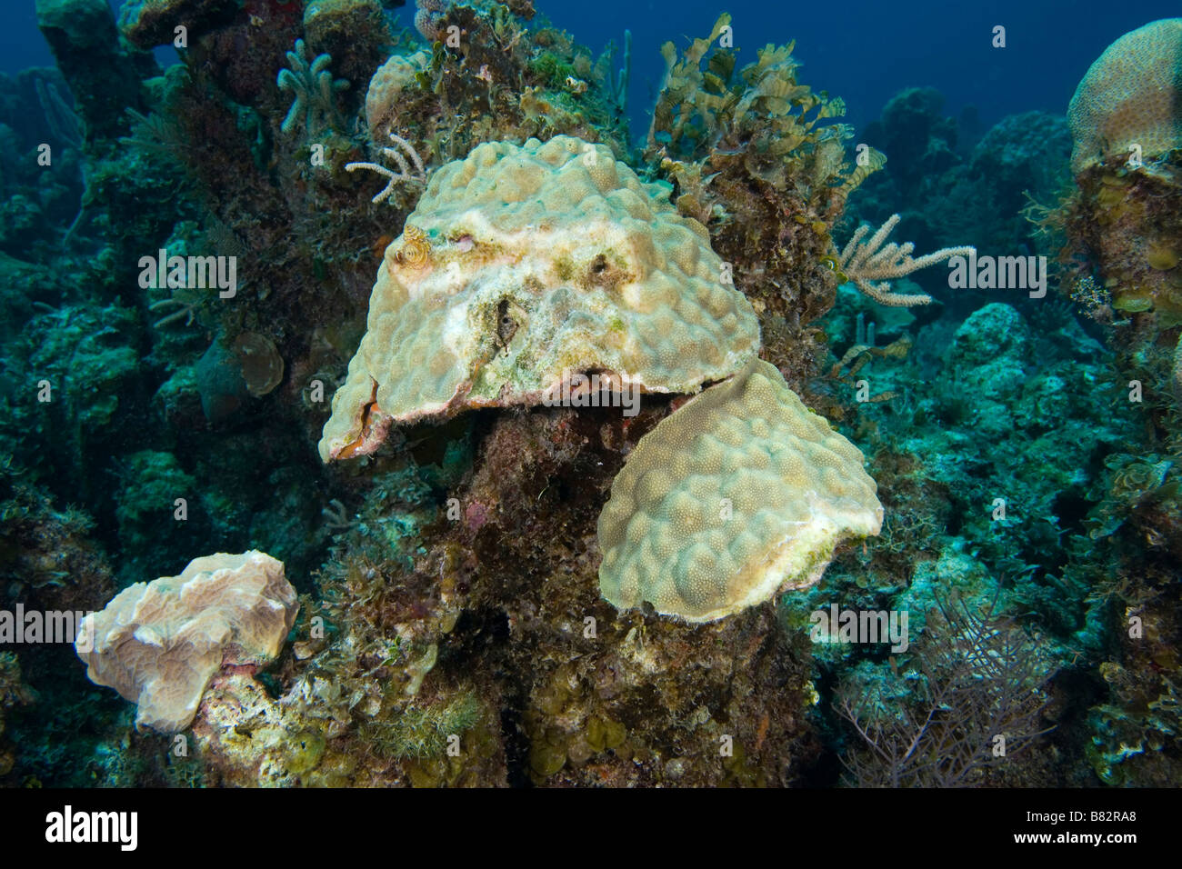 Damaged corals Bahamas, global warming, ecological disaster, dead coral, hard coral, warm water, bleaching - Stock Image