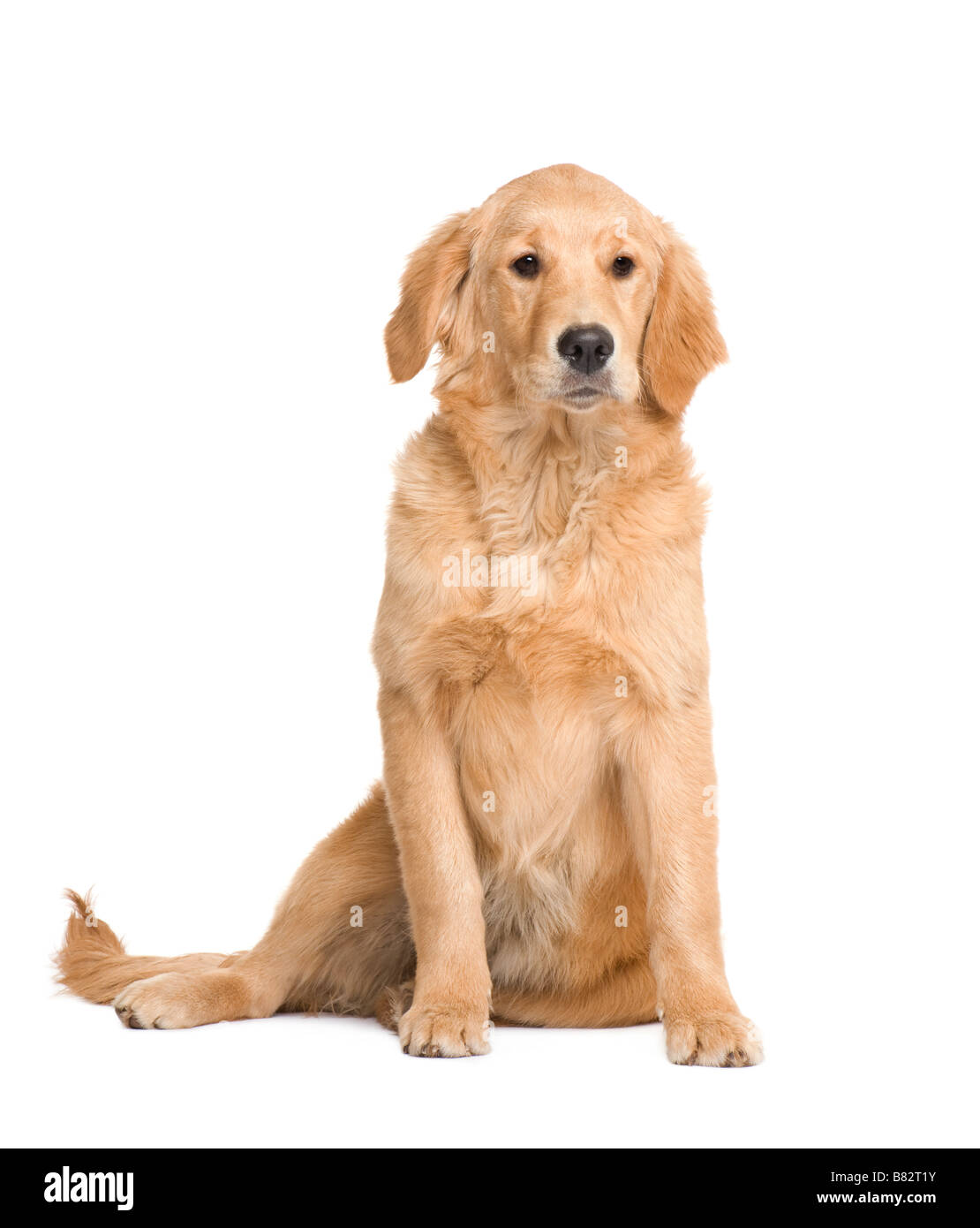 Golden Retriever puppy 5 months in front of a white background - Stock Image