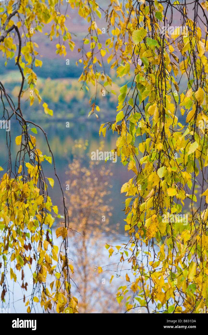 Birch leaves in Autumn, Lake District, Cumbria, England - Stock Image