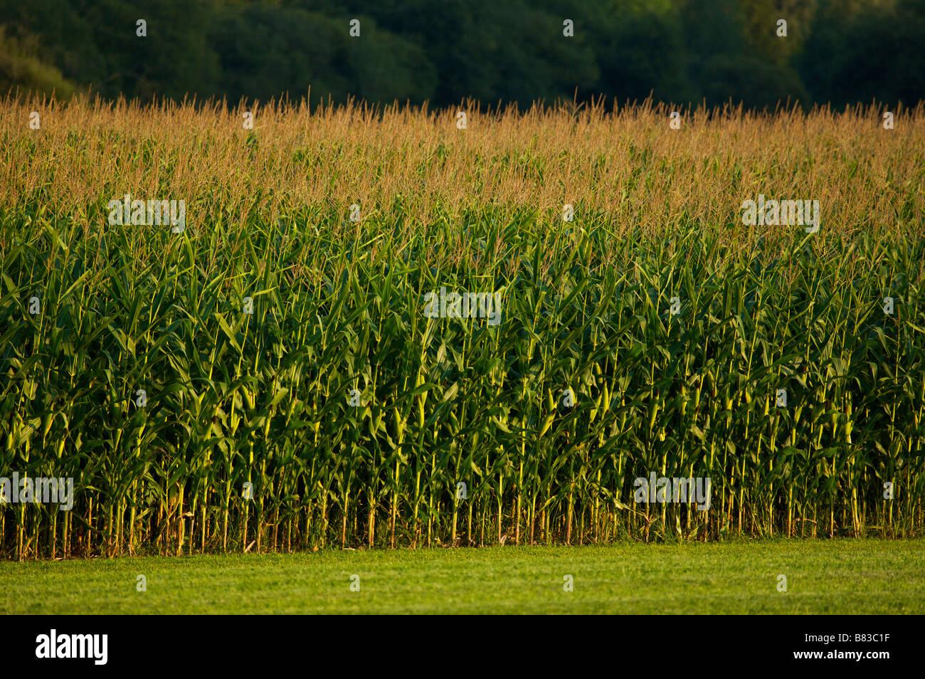 Corn fiel in Landes France - Stock Image