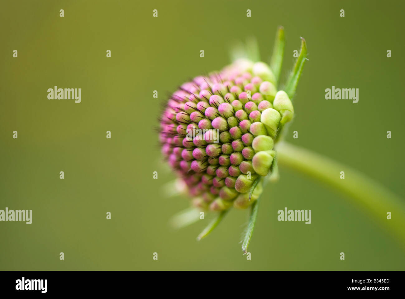 Close up of scabious flower in bud - Stock Image