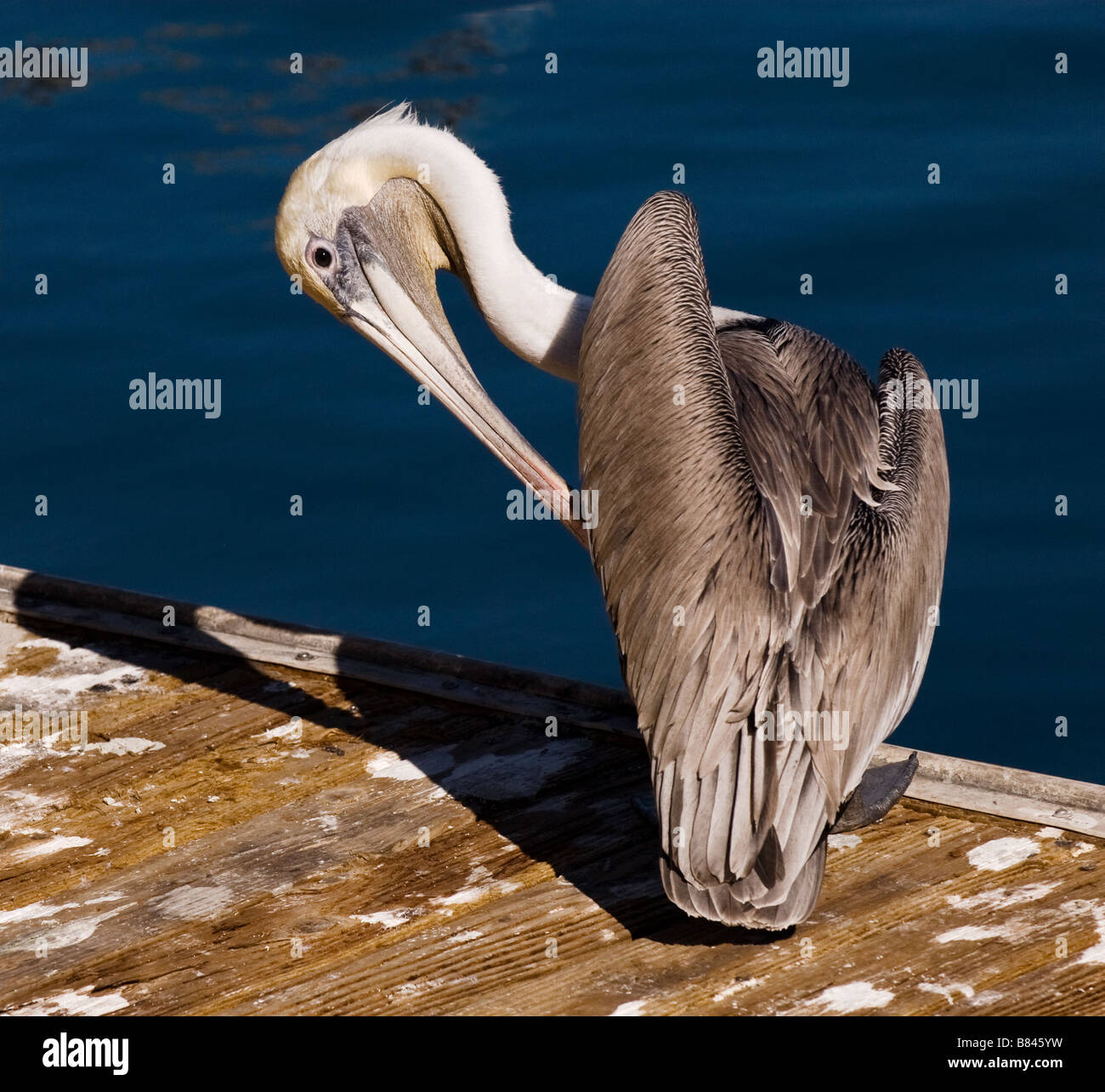 A California Brown Pelican preening in the afternoon