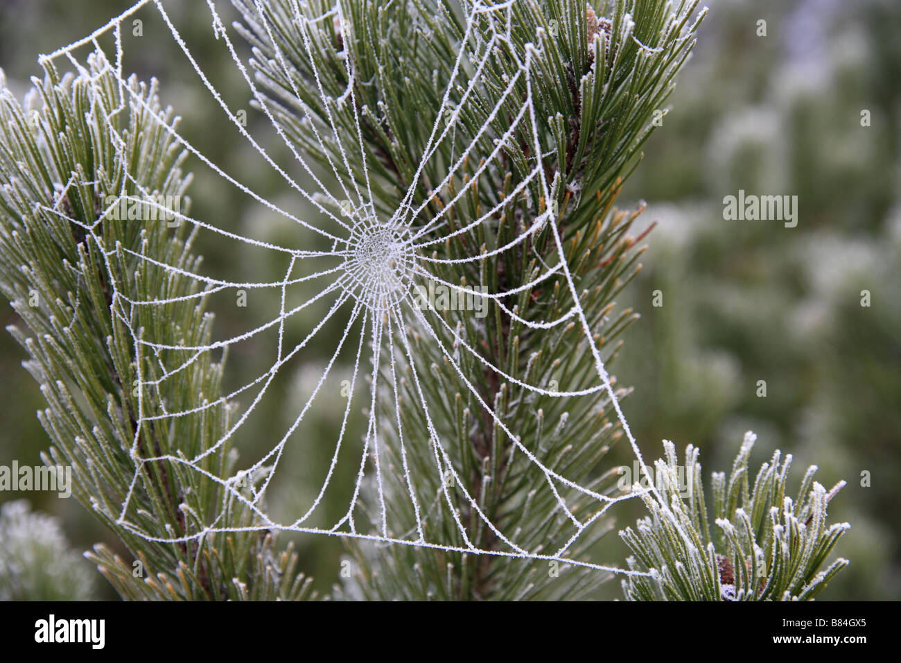 Frozen cobweb on a Scots Pine fir tree. - Stock Image