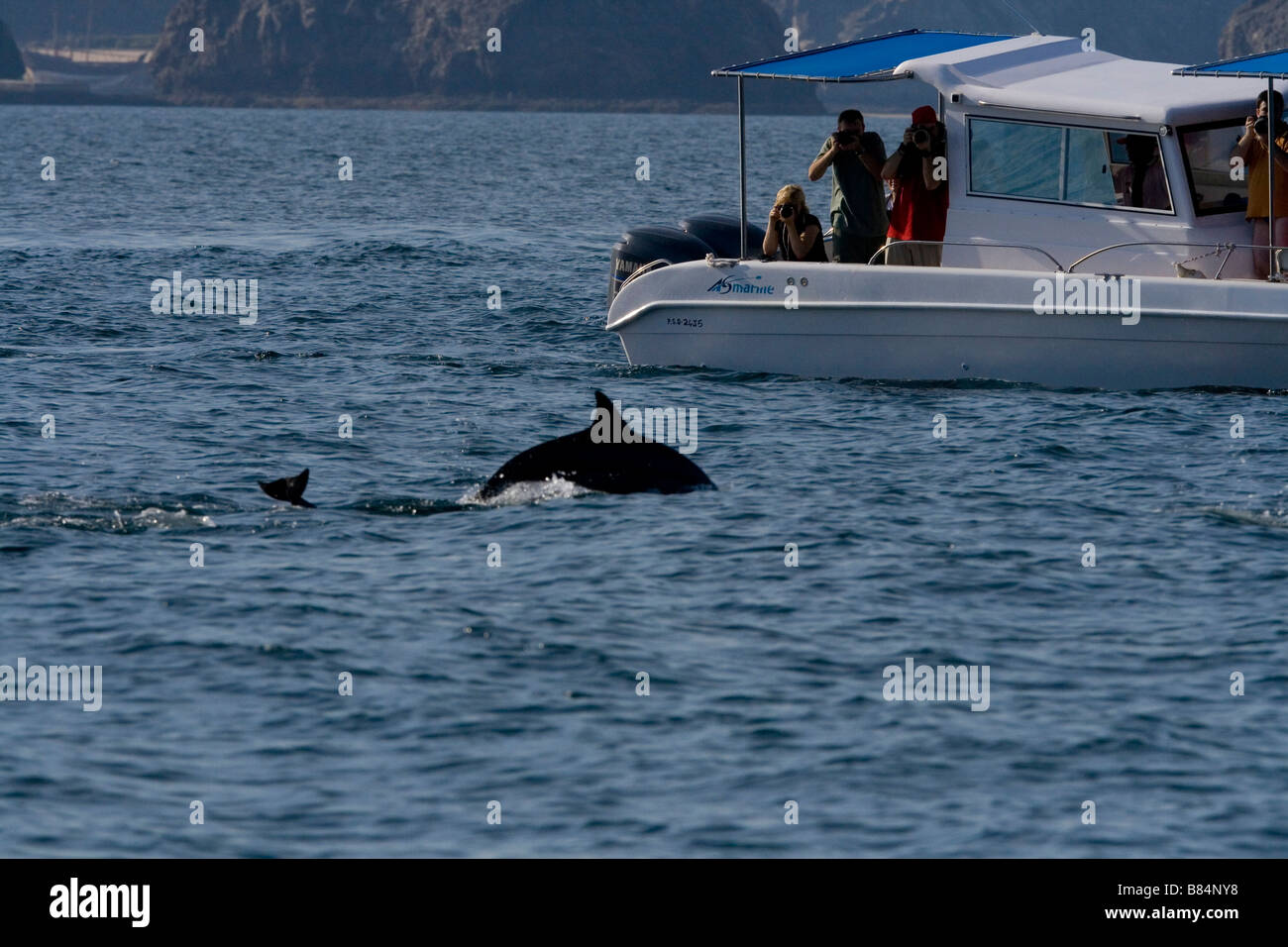 Dolphins jumping in front of the diving boat in the Bay of Oman close to Muscat the capital of the Sultanate of - Stock Image