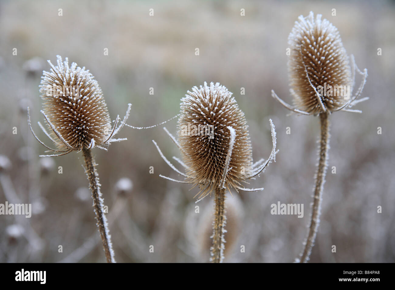 Three Teasel heads, small group of frost covered flower heads in a garden. - Stock Image