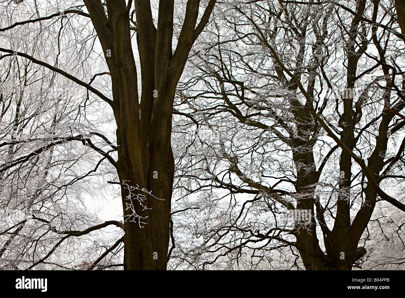 Stark winter trees covered in frost Blorenge Wales UK - Stock Image