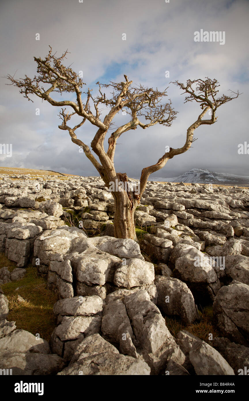 windblown hawthorn tree in exposed limestone pavement on twistelton scar in the yorskire dales with ingleborough - Stock Image