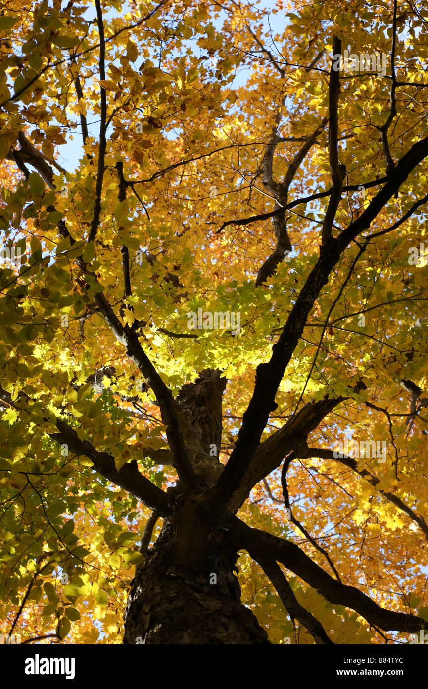 Oak tree in autumn - Stock Image