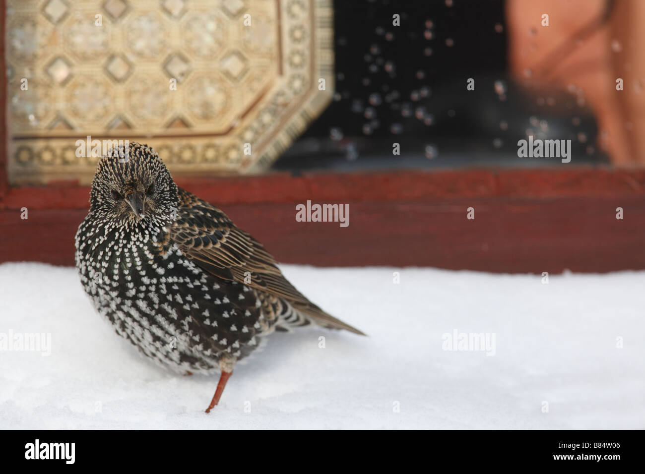 STARLING Sternus vulgaris PERCHING ON SNOW COVERED WINDOWSILL - Stock Image