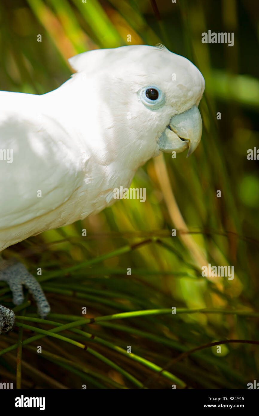 Ducorp's Cockatoo ( Cactua Ducorpsi ) from The Solomon Islands has a raiesde type sail - Stock Image