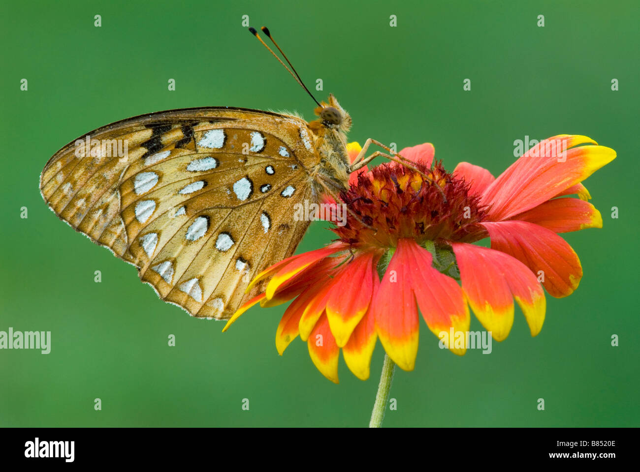 Great Spangled Fritillary Speyeria cybele on Gaillardia Flower E USA, by Skip Moody/Dembinsky Photo Assoc Stock Photo