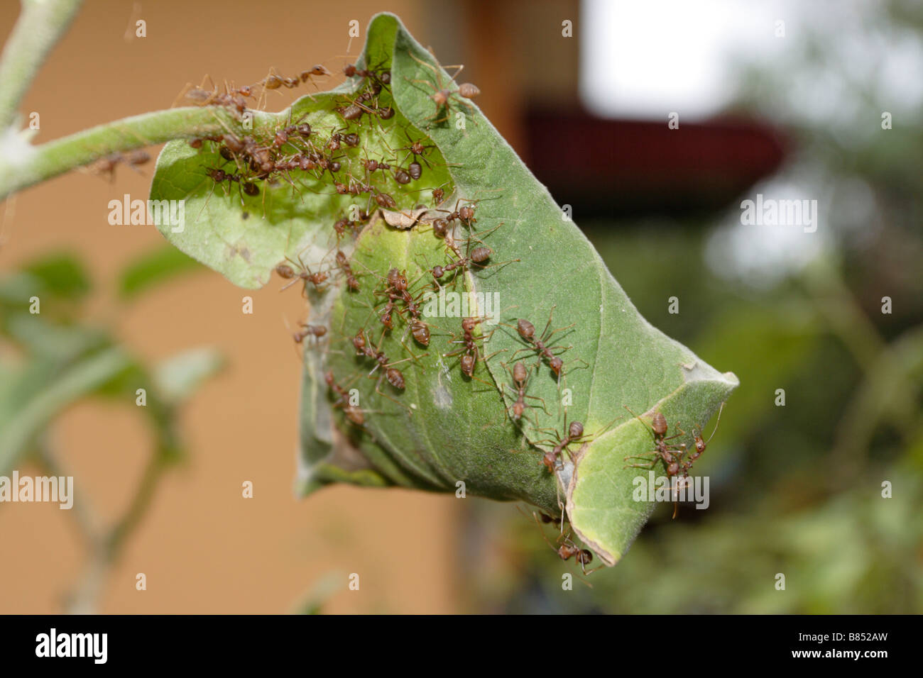 Red Ants Working Together To Build A Nest Stock Photo 22239249 Alamy