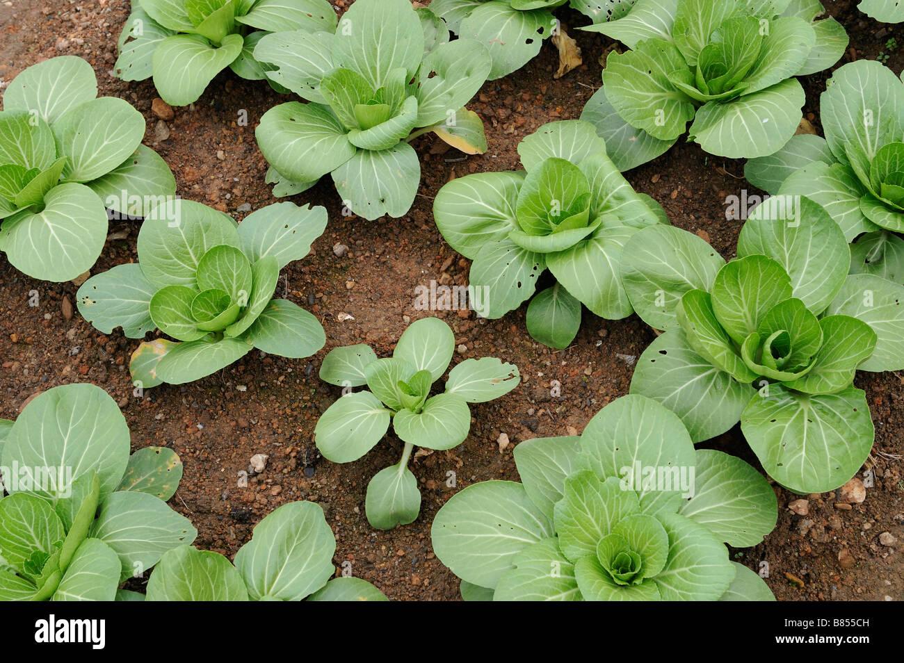 Chinese Yu choy Vegetable. - Stock Image