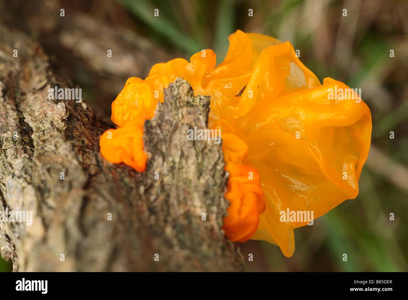 Yellow Brain fungus (Tremella mesenterica) fruiting on a gorse stem. Powys, Wales. - Stock Image