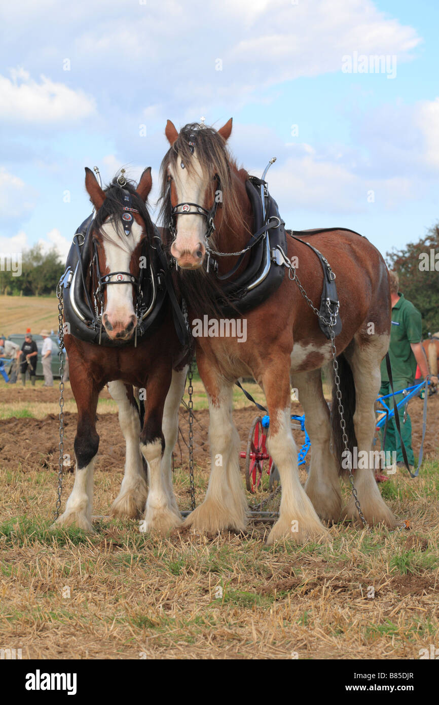 Horses Shire Horses ploughing at the All Wales Vintage Ploughing Match. Near Walton, Powys, Wales. - Stock Image