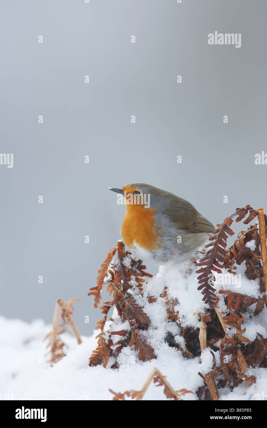 ROBIN Erithacus rubecula PERCHING IN SNOW COVERED BRACKEN - Stock Image