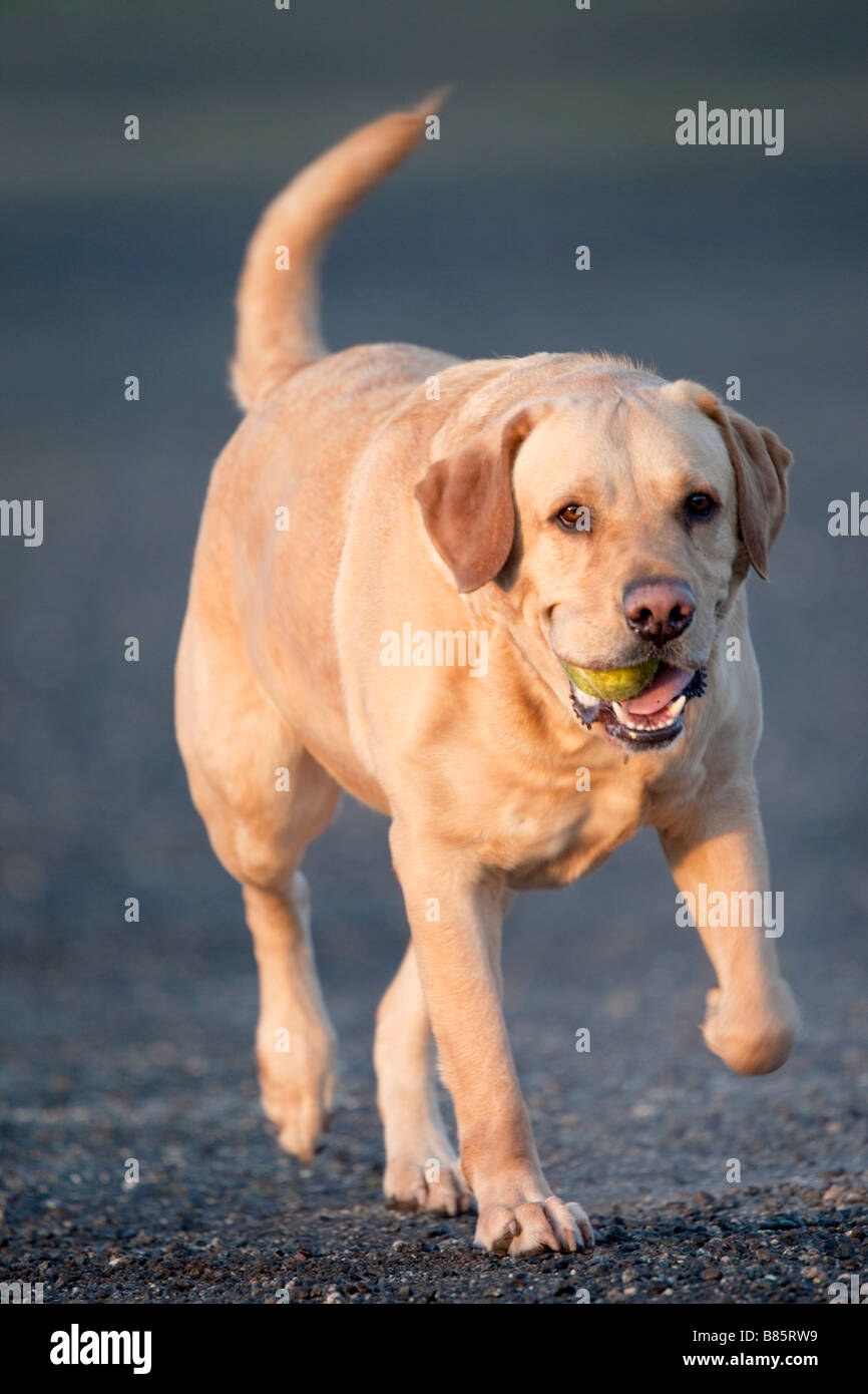 labrador fetching a ball - Stock Image