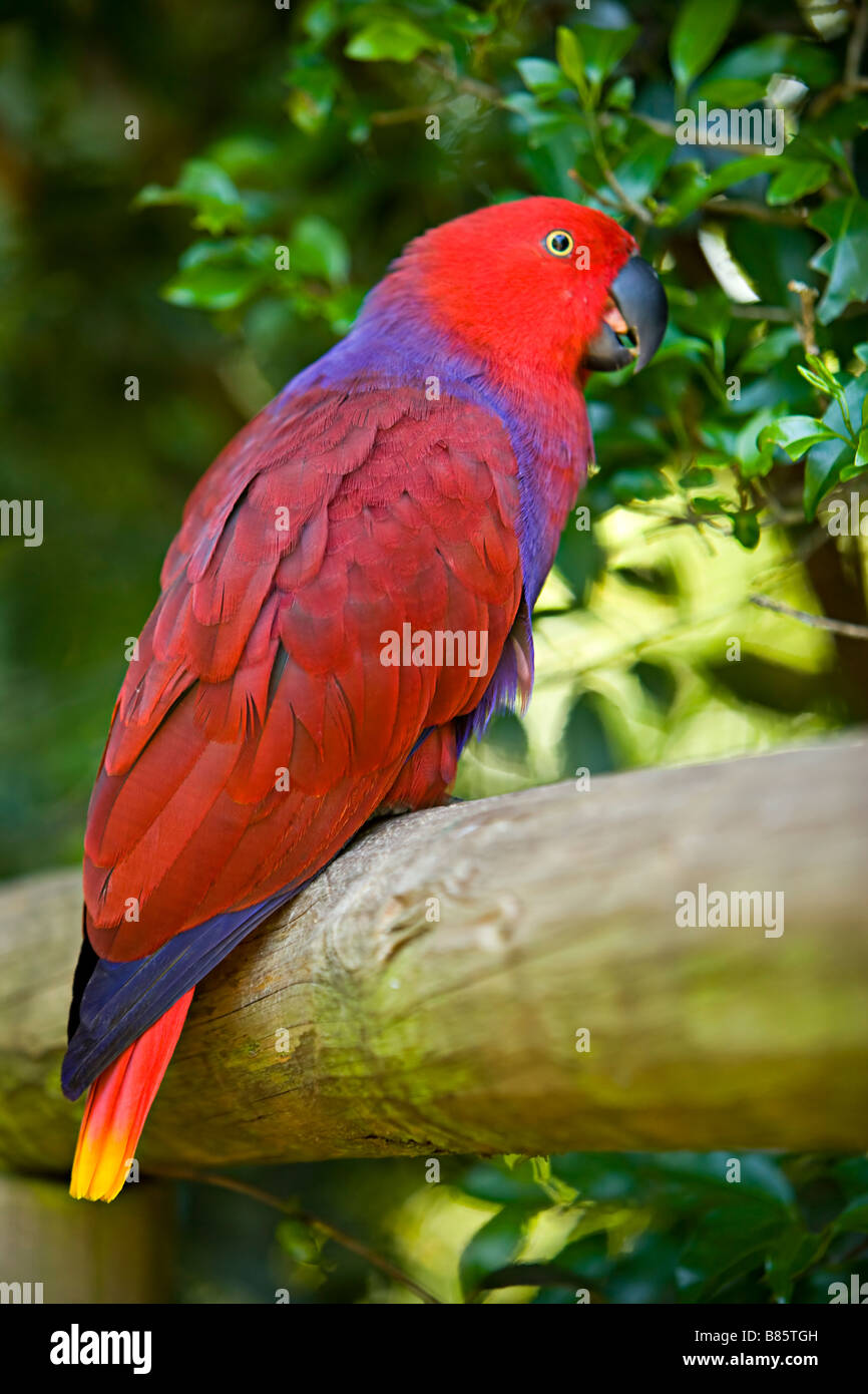 Solomon Eclectus Parrot ( Edectus Roratus Solomonensis ) from New Guinea, Solomon Islands and Moluccan. - Stock Image