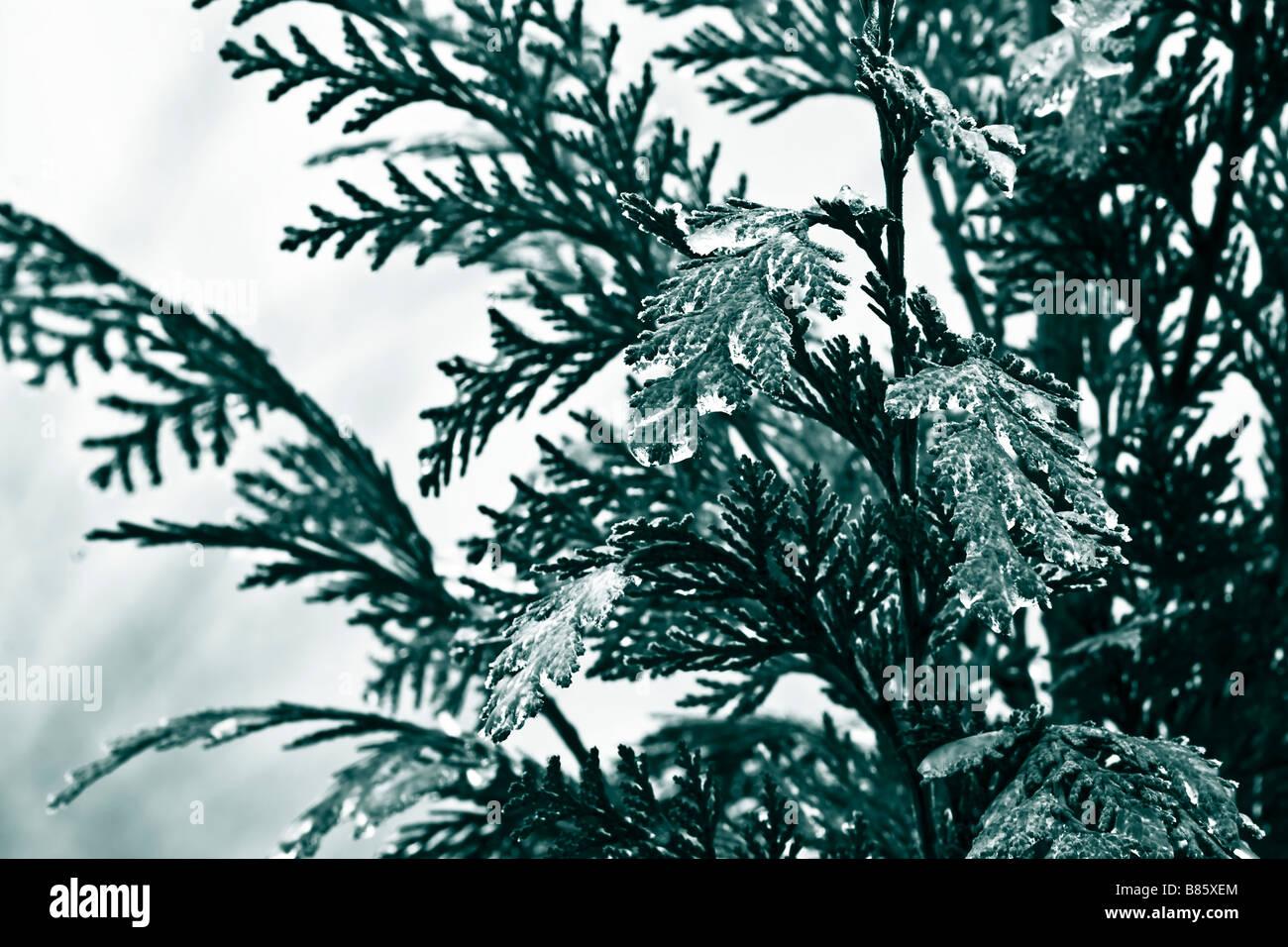 frozen fir twig - Stock Image