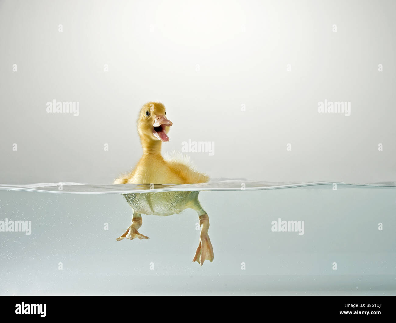 Domestic duck. Duckling swimming while quacking Studio picture, split level - Stock Image