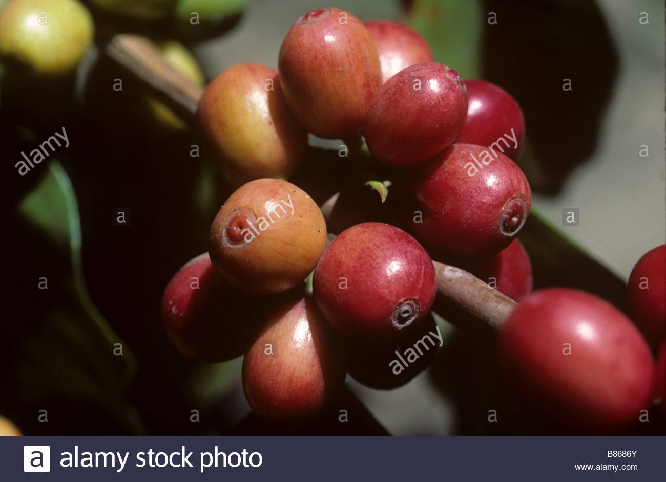 Ripe red arabica coffee berries Colombia - Stock Image