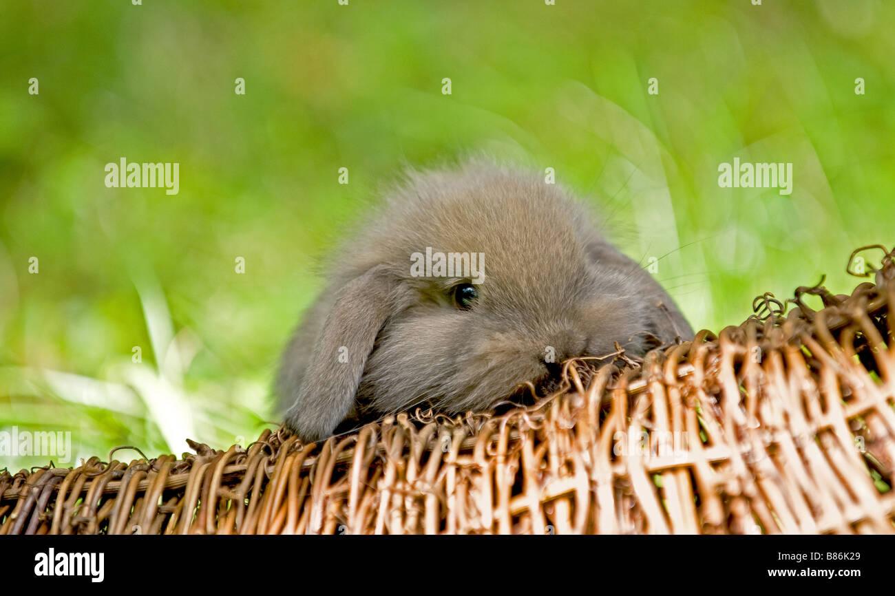 young dwarf rabbit Stock Photo
