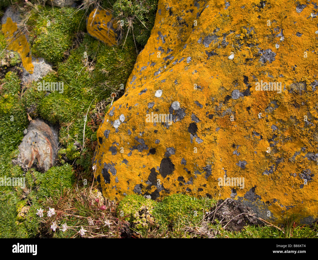 Yellow lichen on a rock Tierra de Fuego Province Patagonia Chile - Stock Image