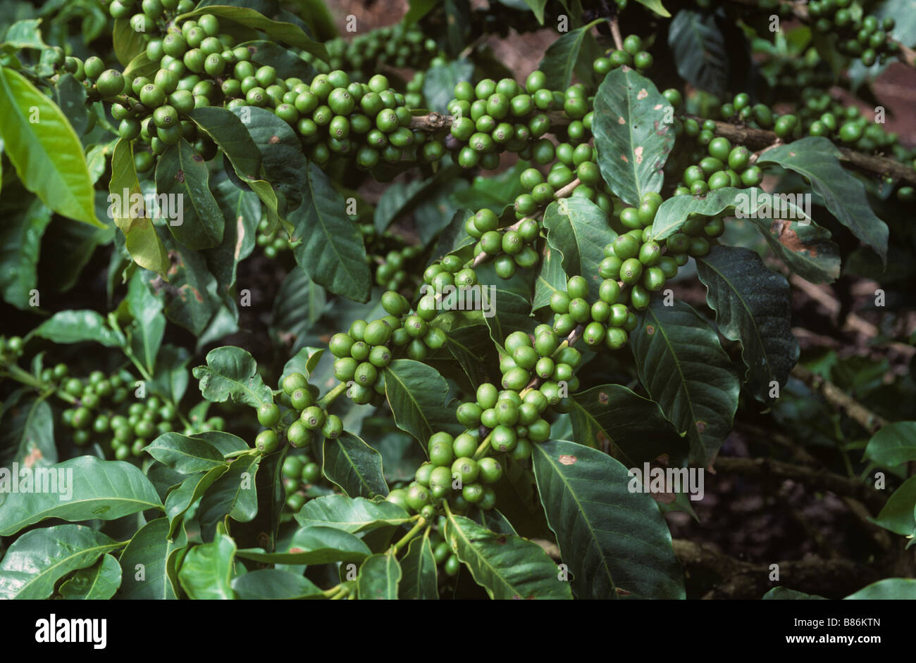 Arabica coffee branches with developing green berries Nairobi Kenya - Stock Image