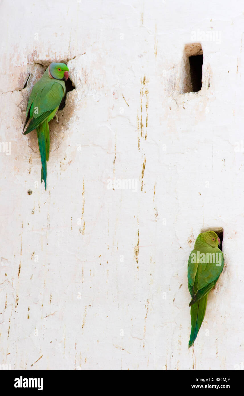 Two Parrots sitting on wall - Stock Image