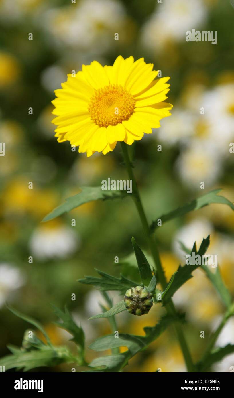 Corn Marigold, Chrysanthemum segetum, Asteraceae and Ox Eye Daisies Chryanthemum leucanthemum Stock Photo